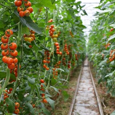 大连西红柿