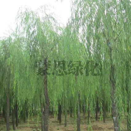 金丝垂柳苗木