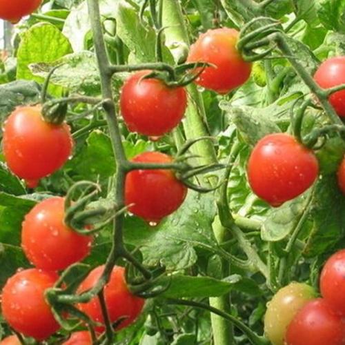 西红柿批发