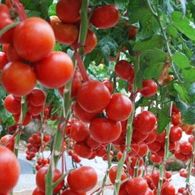 西红柿价格