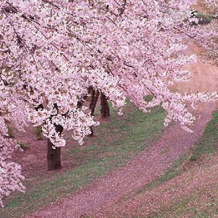大连市西岗区樱花