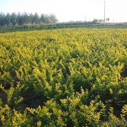 大小叶黄杨树苗