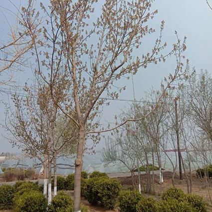 大连糖槭种植