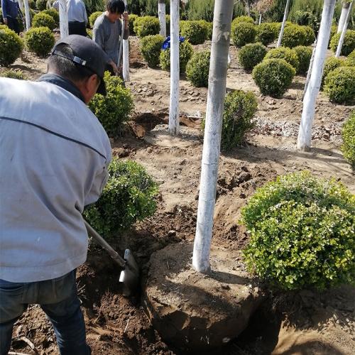 大连市沙河口区法桐种植
