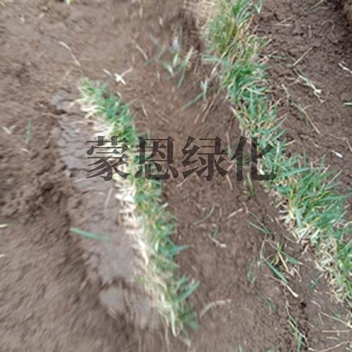 大连草卷种植