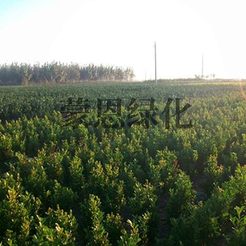 大小叶黄杨种植
